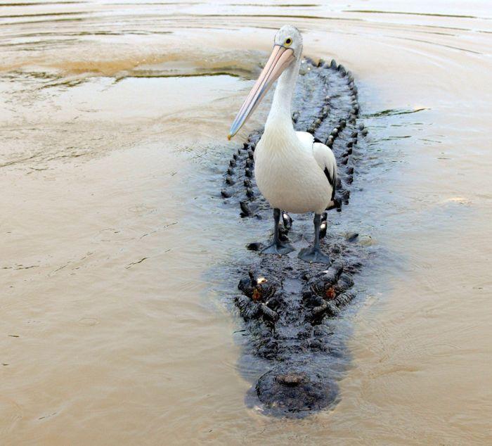 Пеликан на крокодиле