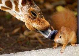 Язык жирафа и белка